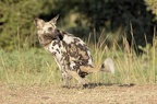 Lycaon [fr] - African wild dog [en] - Lycaon pictus