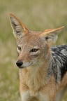 Chacal à chabraque [fr] -   Black-backed jackal [en] -  Canis mesomelas