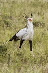 Messager sagittaire [fr] - Secretary Bird [en] - Sagittarius serpentarius