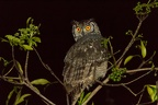 Grand-duc africain [fr] - Spotted eagle-owl [en] - Bubo africanus