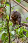 Ecureuil Lucifer [fr] -  Black and red bush squirrel [en] - Paraxerus Lucifer